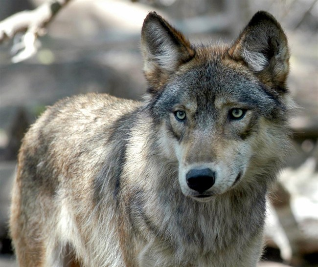 A gray wolf pictured in this 2004 file photo.