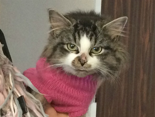 Officials with Cat Rescue Maritimes say they're seeing a growing number of abandoned cats in New Brunswick-- many found near-frozen or starved to death. Russell the cat wears a pink sweater at a news conference in Fredericton, Tuesday, Feb.28, 2017 as he recovers after being found in a snow bank.