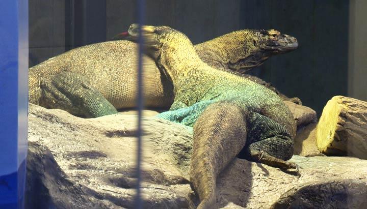 Saskatoon Forestry Farm Park and Zoo offers a sneak peek of the new Komodo dragon exhibit on Wednesday.
