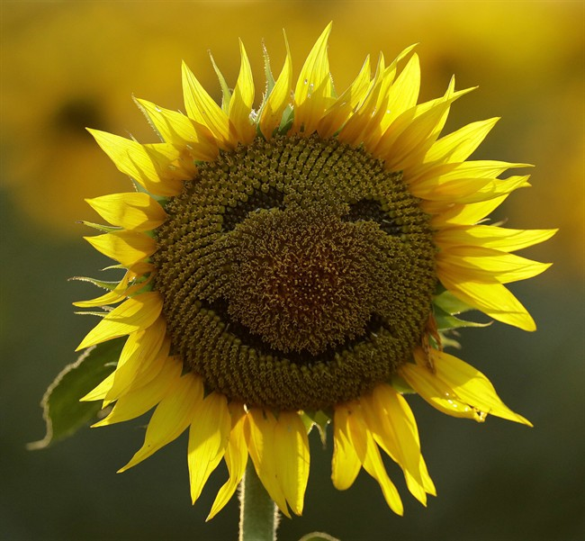 In this Sept. 7, 2016 file photo, a smiley face is seen on a sunflower in a sunflower field in Lawrence, Kan.