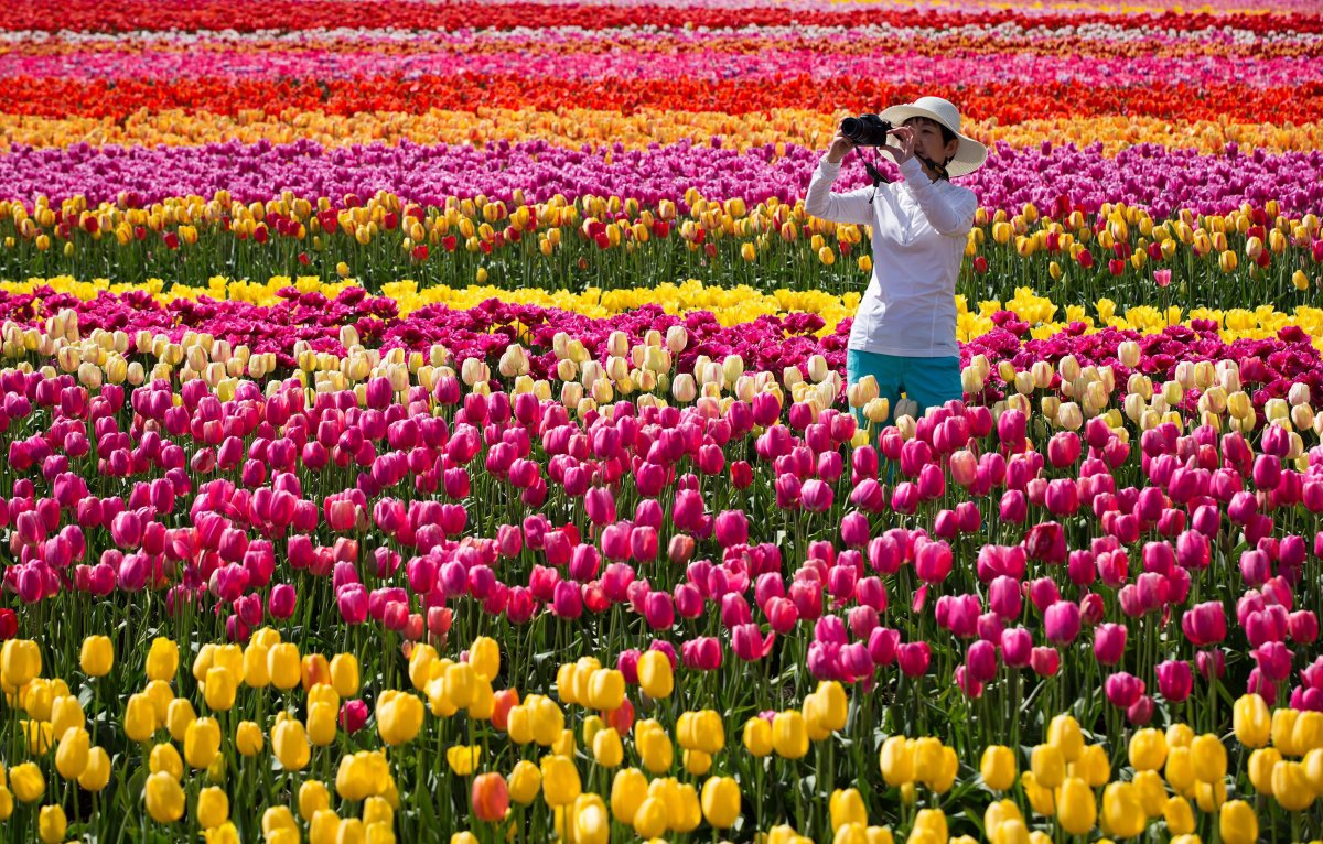 Tulips in bloom at the 2016 Abbotsford Tulip Festival.