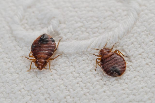 Bed bugs can be found anywhere and their presence is not determined by the cleanliness of living conditions.