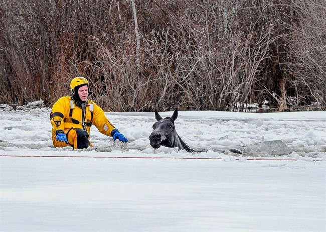 A firefighter rescues a horse that fell through the ice near Hythe, Alta., Sunday, April 16, 2017.