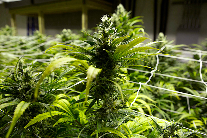 This Jan. 26, 2013 file photo taken at a grow house in Denver shows marijuana plants ready to be harvested.