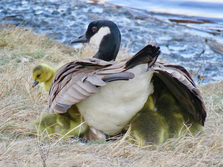 May 12: This Your Saskatchewan photo of eleven goslings tucked under their mother's wing was taken in Saskatoon by Helen Anderson.
