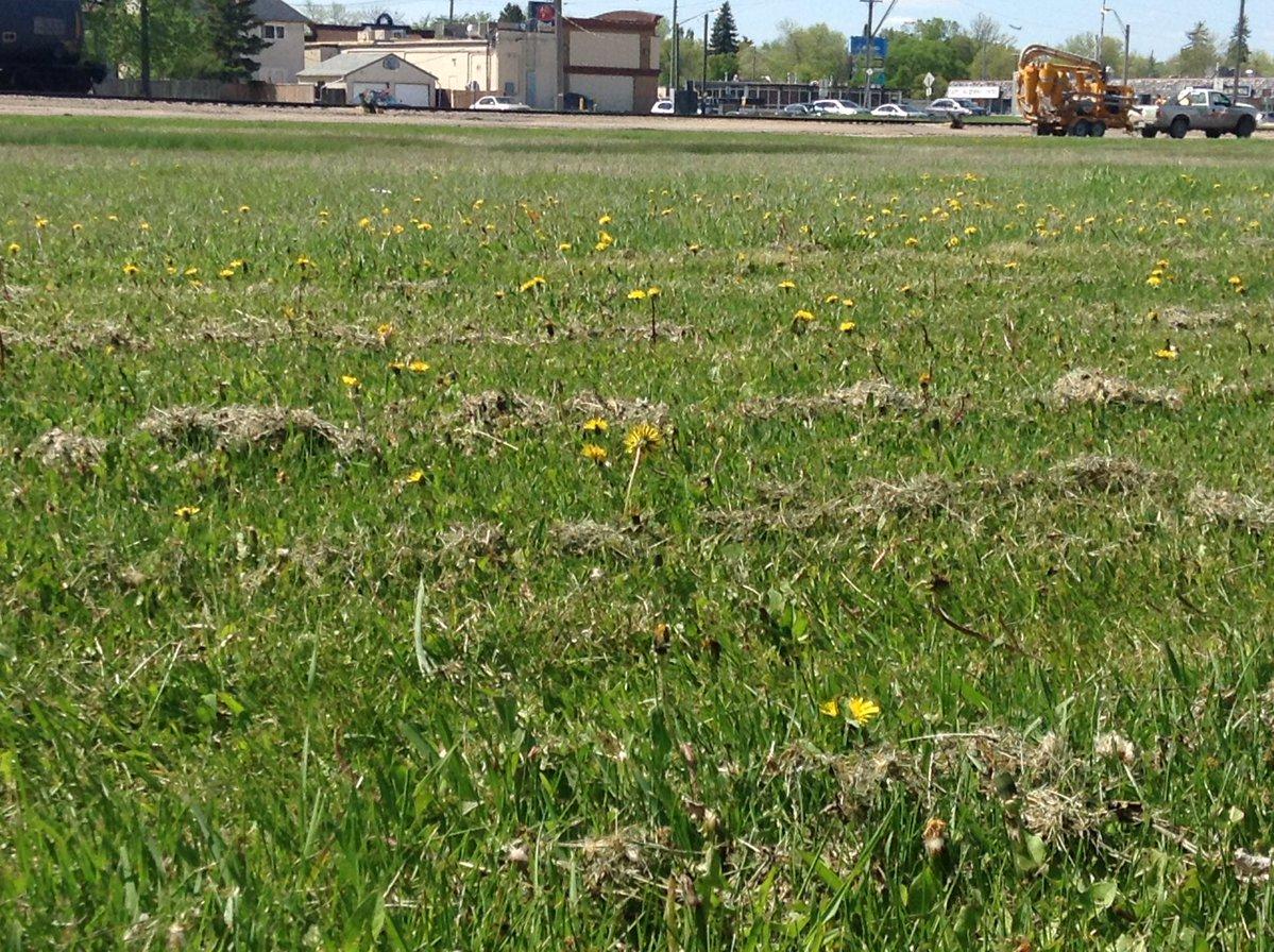 Dandelions soak up the sun along a railway track in Winnipeg.
