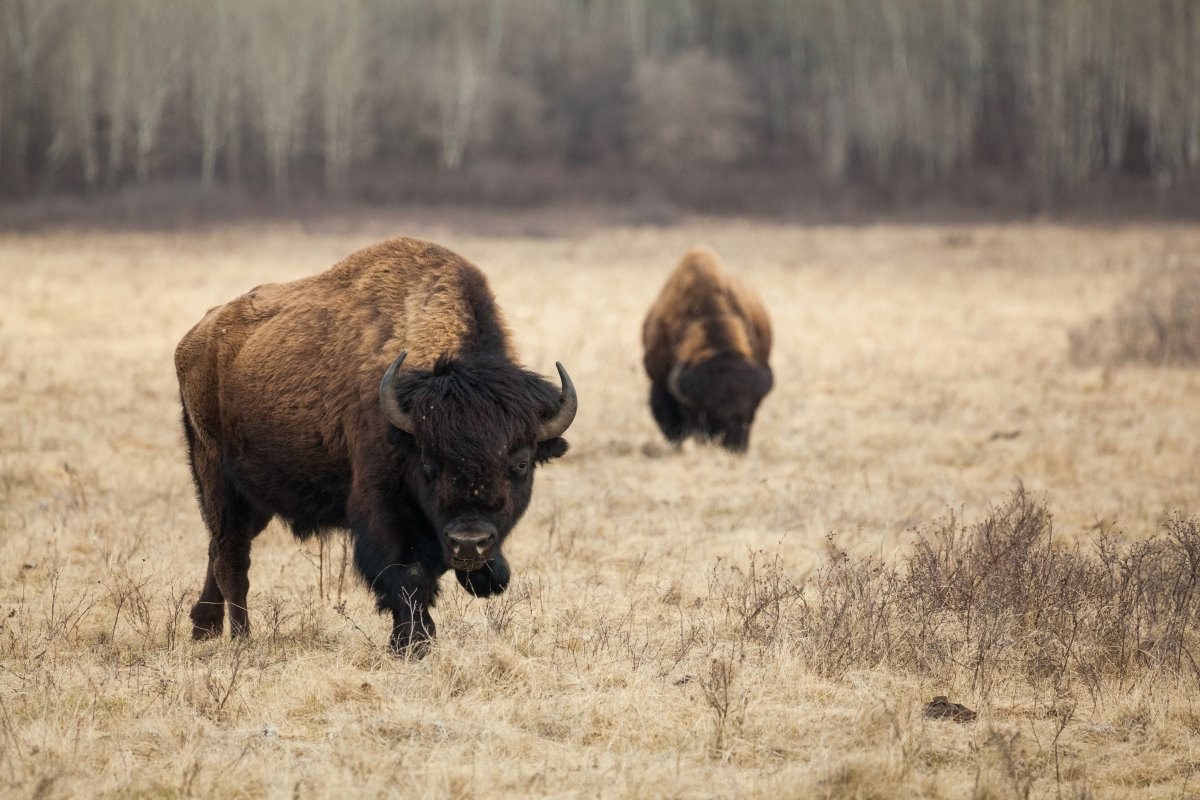 Canadian photographer Zach Baranowski captures roaming bison in Riding Mountain National Park in Manitoba.