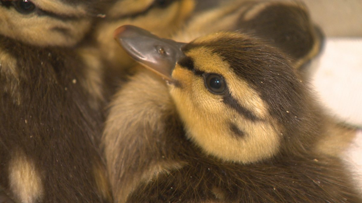A driver allegedly stopped on Hwy. 401 to avoid hitting a family of ducks, caused an accident and then left the scene.