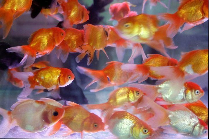 goldfish in Vietnam