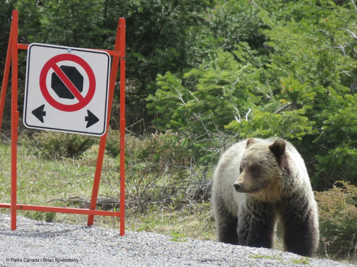 A grizzly bear looks at a no-stopping sign.