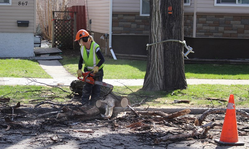 Crews chopping down elm tree infected with Dutch Elm Disease.