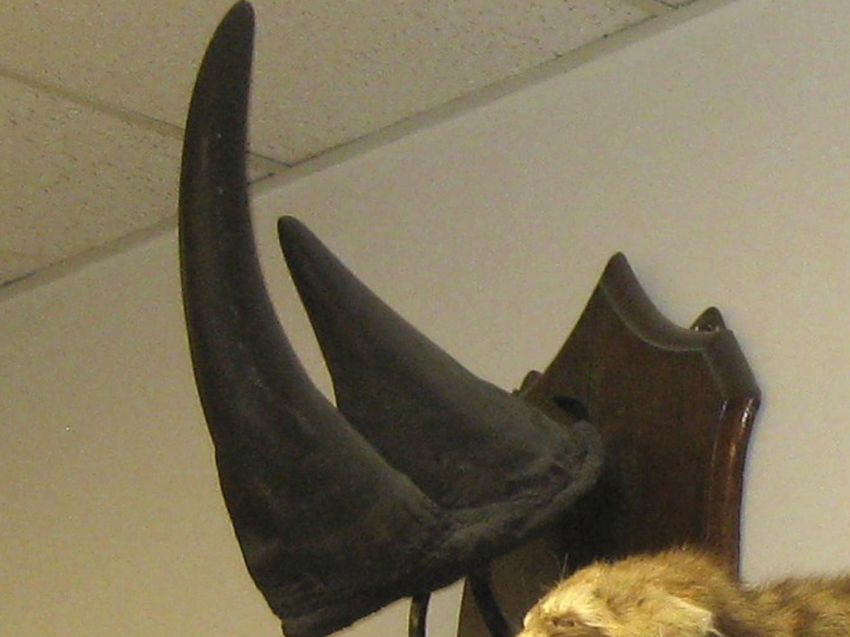 This undated file photo provided by the University of Vermont, shows a black rhino horn hanging on the wall in an academic building in Burlington, Vt.