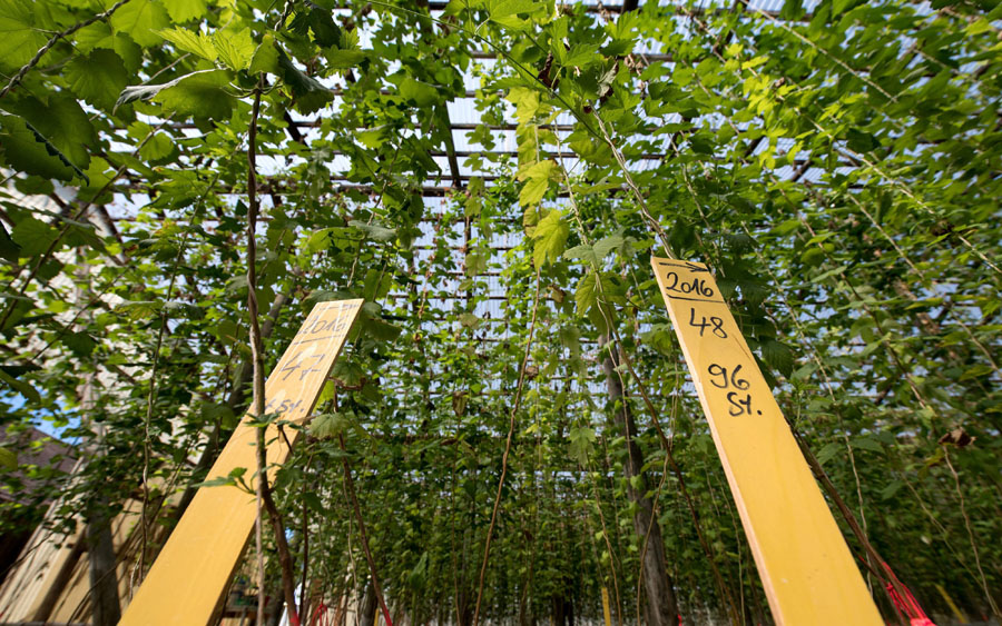 "Wire structures like those used for growing hops could keep pot plants below one metre, an expert says. (He also calls it ""a ridiculous rule"".)."