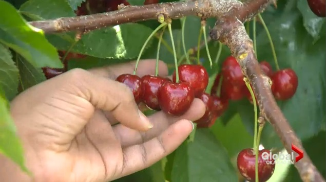 The B.C. Tree Fruits Co-operative expects to produce eight million pounds of cherries, down from 10 million pounds over the last few years.