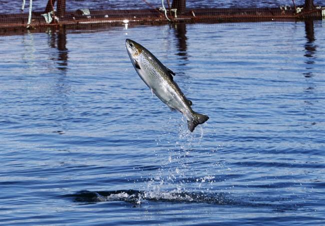 An Atlantic salmon leaps while swimming inside a farm pen near Eastport, Maine, Sunday, Oct. 12, 2008.