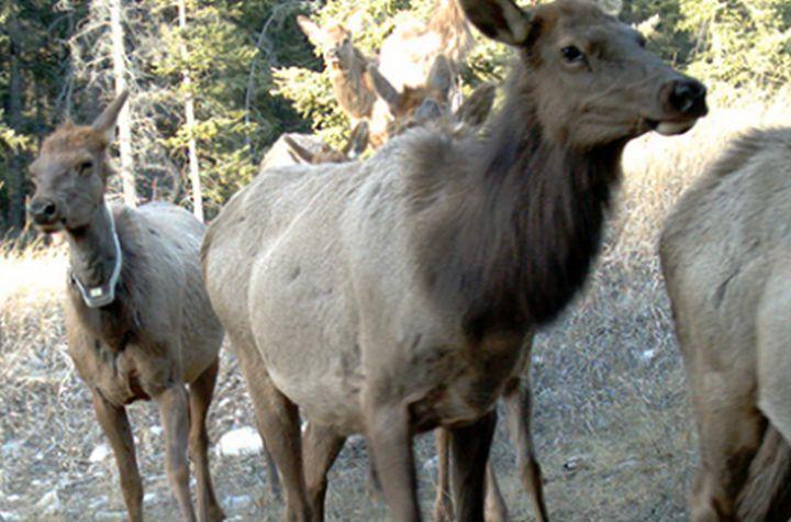 File photo of elk.