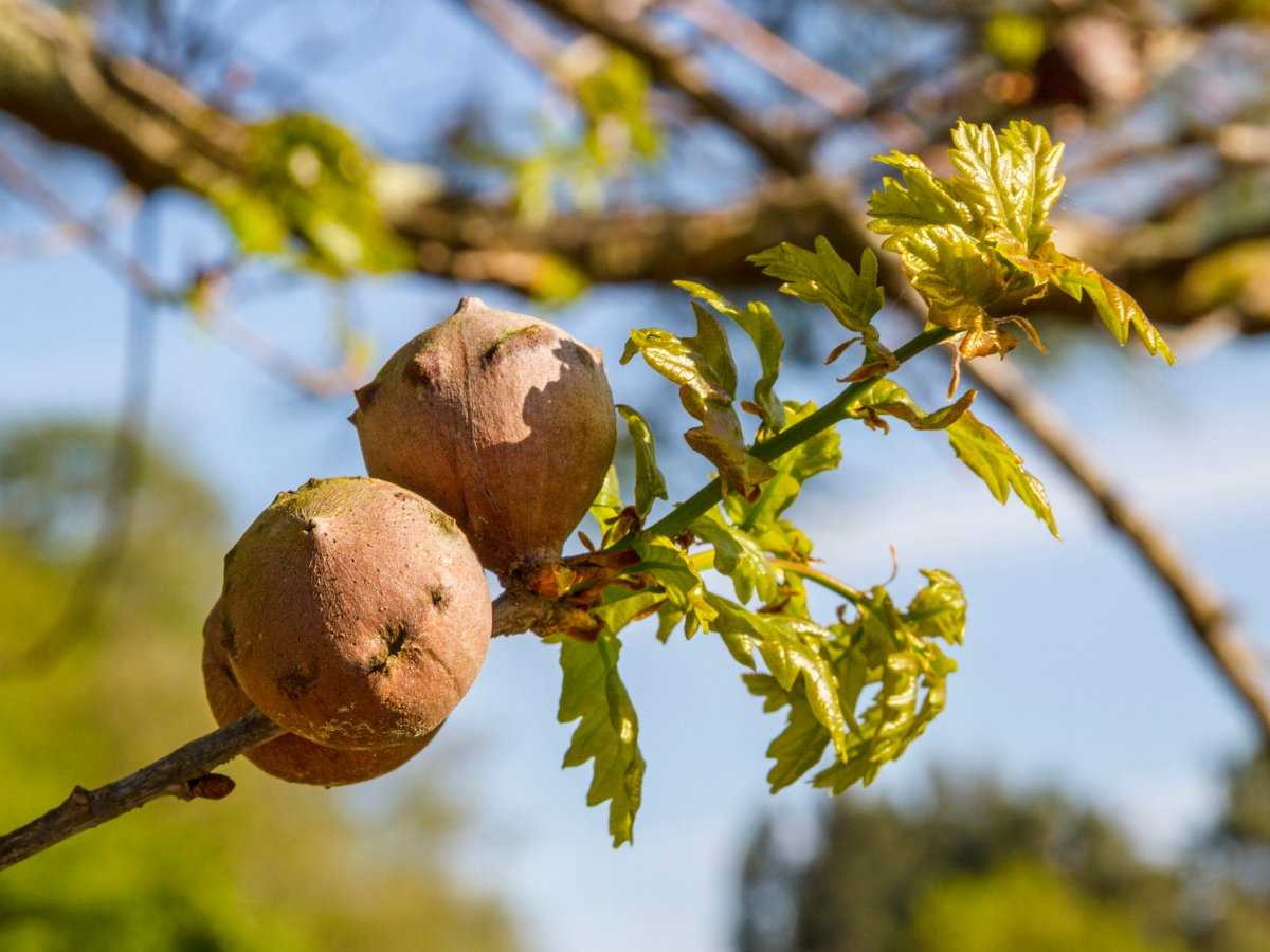 Oak galls are round, hard-shelled tree growths that result when a wasp lays larvae in the branches.