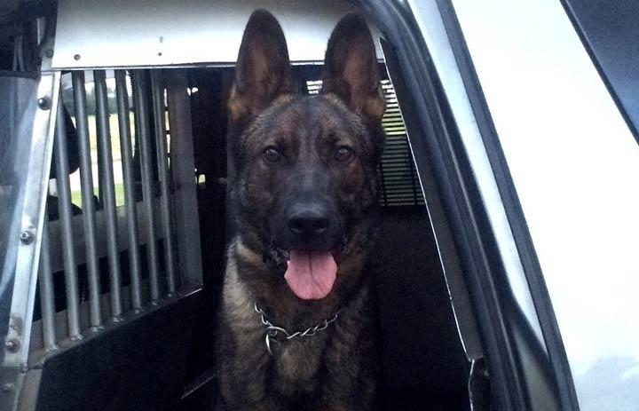 The driver of a stolen vehicle was arrested with the help of a Prince Albert police dog.