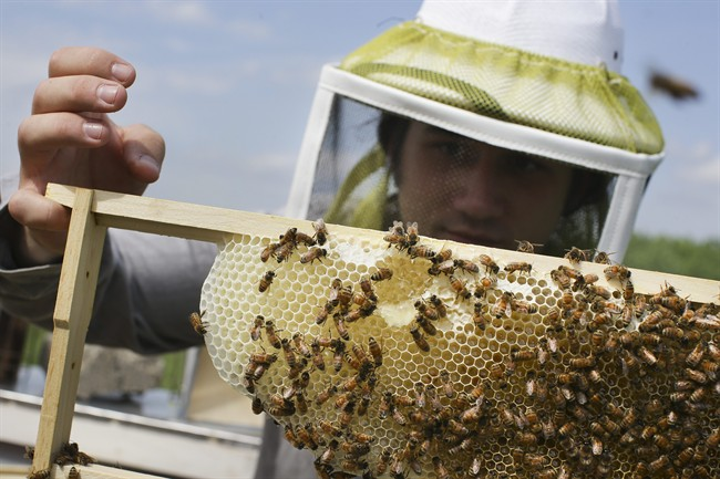 Saskatchewan beekeepers are facing a 20 to 30 per cent drop in honey production this year after a harsh winter and spring took their toll on the province's honey bee numbers.
