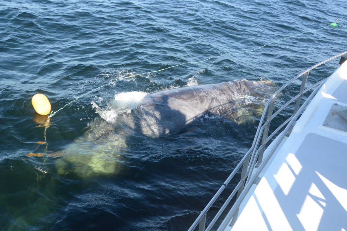 An endangered North Atlantic Right Whale is shown being rescued from fishing gear east of Miscou Island on July 5, 2017.