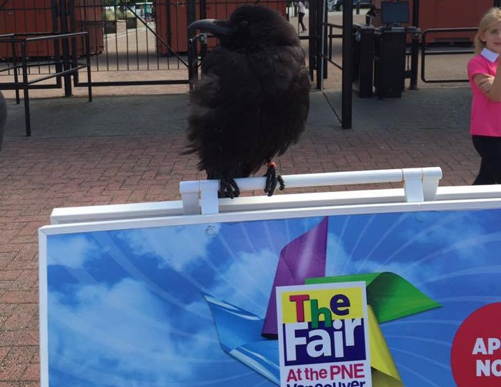 Canuck the Crow winging it with paid gig at the PNE - image