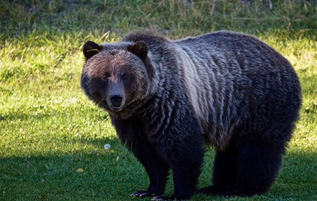 """File photo of """"Bear 148,"""" seen here in an undated handout photo, is a grizzly in the Banff area whose repeated human contacts are threatening its future."""