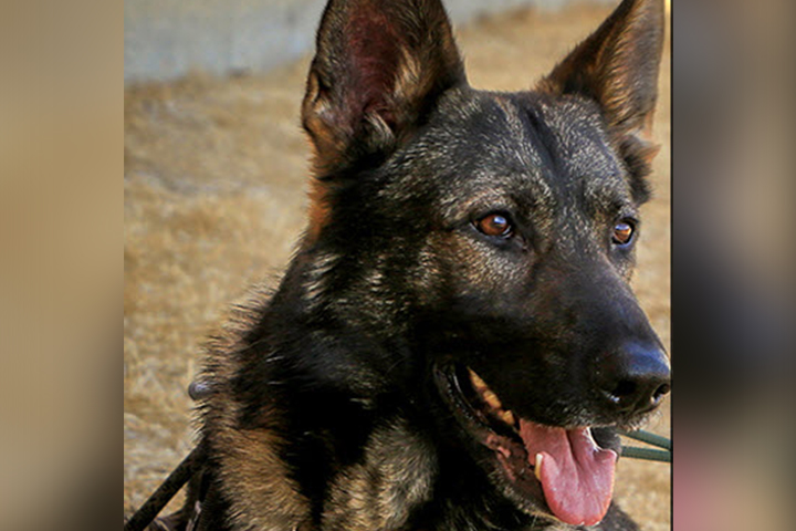 Jester, a German Shepard with the Calgary Police K9 Unit, has returned to work.