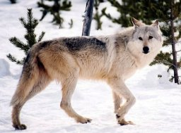 Continue reading: Wolf shot, unlawfully removed from trap in Saskatchewan: ministry