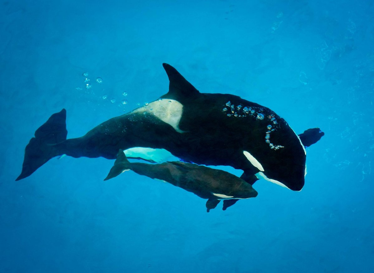 Kyara, the last killer whale calf born in captivity at SeaWorld, has died.