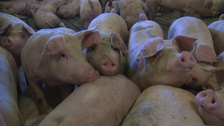 Porcine epidemic diarrhea causes severe dehydration, is easily transmittable and is generally fatal in young pigs.