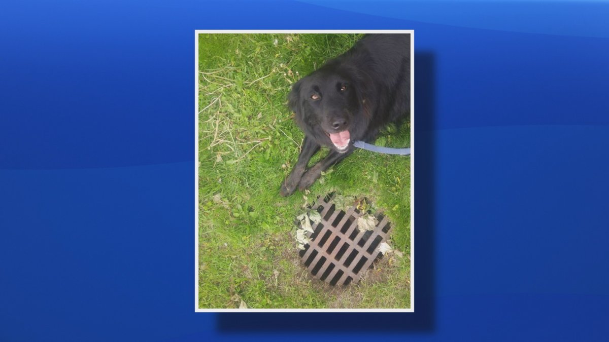 A dog named Cash lays by a manhole cover in this undated handout photo in Sackville, N.B.