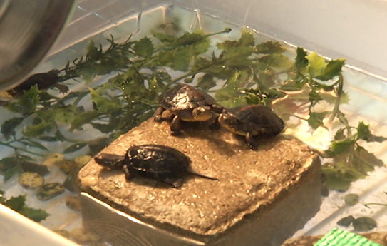 Stop Kissing Pet Turtles Cdc Warns As Salmonella Outbreak Hits 13 States National Globalnews Ca