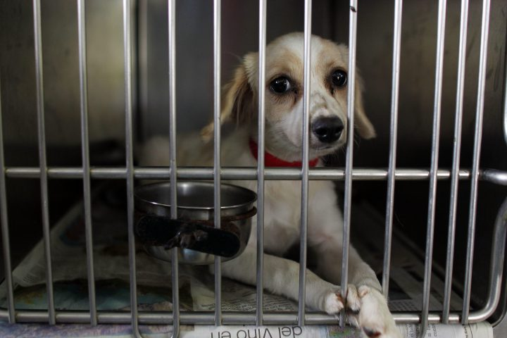 In this Aug. 22, 2017 photo, a dog sits inside his kennel at the Villa Michelle Animal Shelter in Mayaguez, Puerto Rico.