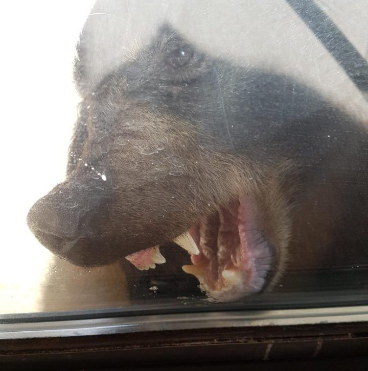 File photo. Fewer bears were destroyed this August 2017 compared to last year, which is a change in pace for this summer.