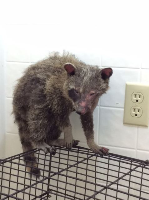 The Procyon Wildlife Centre, a non-profit animal rehabilitation centre, says the young raccoon is in critical condition with severe burns.
