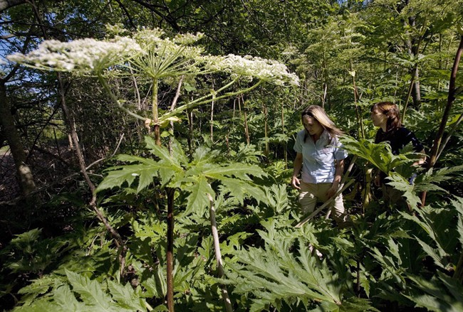 Nature Conservancy of Canada is urging people to be on the lookout for giant hogweed.