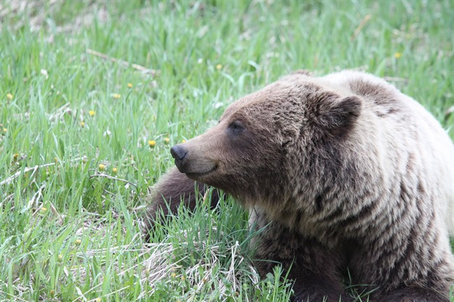 A grizzly bear is seen in this undated handout photo. Scientists say conflict between grizzly bears and people in southwestern Alberta is growing.