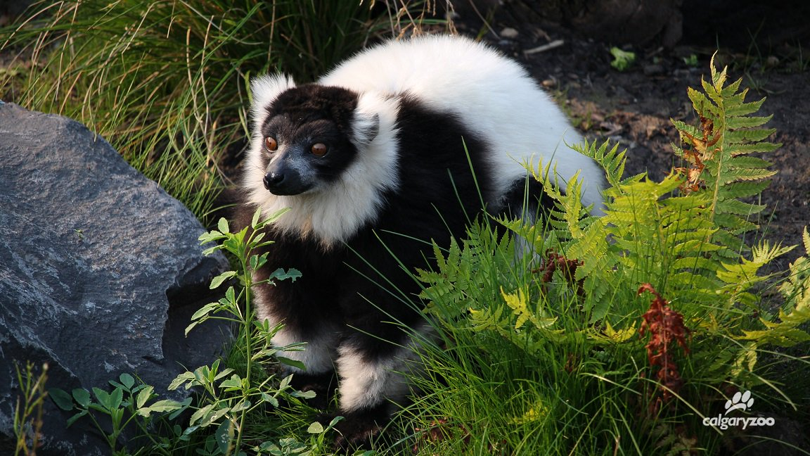 The Calgary Zoo announced the death of a black-and-white ruffed lemur on Aug. 25, 2017.