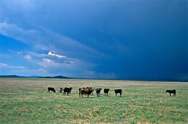 Cattle on plains outside Las Vegas, NM.