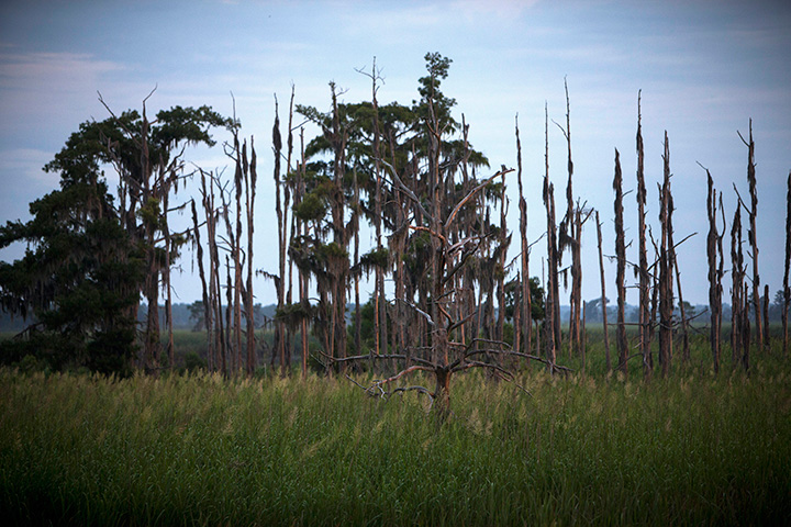 """This July 16, 2017, photo shows a """"ghost forest"""" near the Savannah River in Port Wentworth, Ga."""