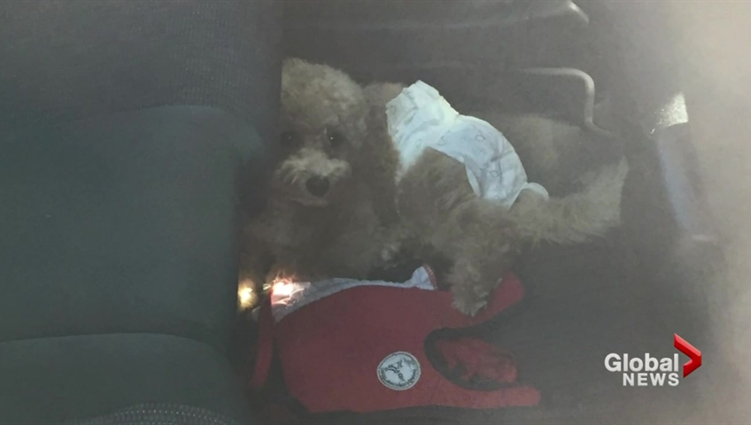 A file photo of a diaper-clad dog seen left alone in a sweltering vehicle in the Sea to Sky gondola parking lot in 2017. The small pet was trapped for more than two hours before a tow trucker driver freed it.