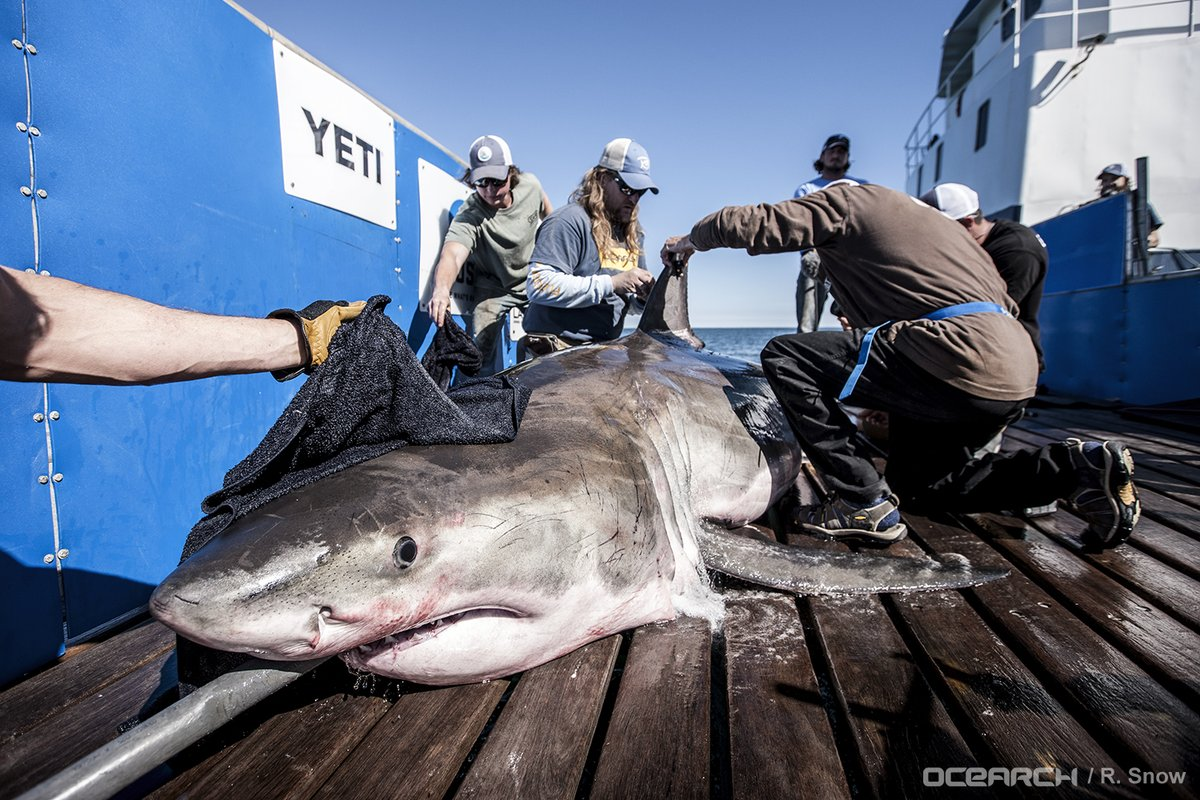 Hilton the shark is tagged by OCEARCH researchers.
