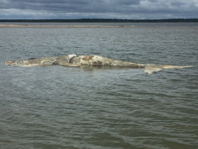 The carcass of a North Atlantic right whale is seen off of Edgartown, Mass. in Martha's Vineyard.