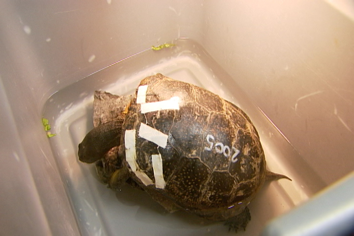 A turtle rests at Sandy Pines Wildlife Centre in Napanee.