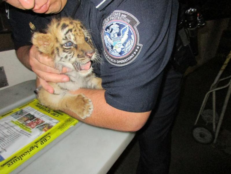 This tiger cub was found while smugglers attempted to bring it into California.