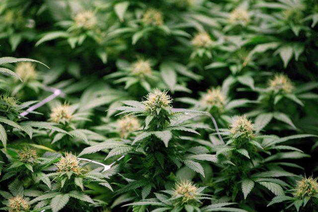 Legalizing marijuana for recreational use in Canada