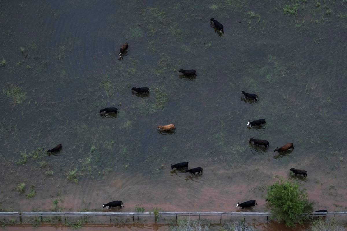 Cattle graze around flood waters caused by Tropical Storm Harvey near Sandy Point, Texas, U.S. August 30, 2017.