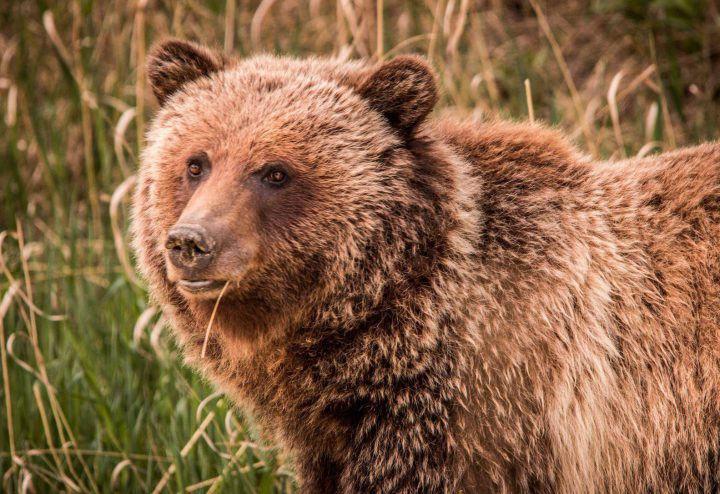 Bear 148, who was killed by a hunter in B.C. Sunday, couldn't have been legally shot in Alberta due to the government's hunting regulations.