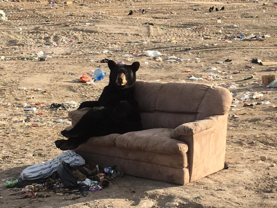 A black bear relaxing at the garbage dump outside Lac Brochet, Manitoba.