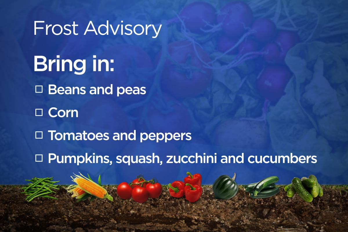 Tomatoes, peppers, peas, corn and gourds can be damaged by a light frost.